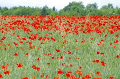 July in the Wychwoods poppies